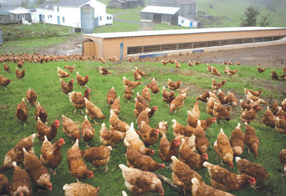 Numerous cage free, pasture raised and brown feathered hens foraging in a large, free range pasture.