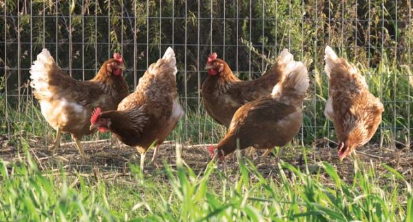 Brown feathered hens foraging in an open, grassy pasture.