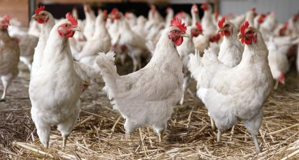 A group of white cage free hens in an open, spacious barn.